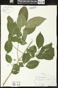 Euonymus atropurpureus var. atropurpureus image