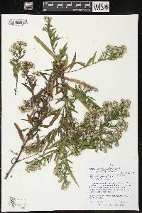 Image of Symphyotrichum lanceolatum var. lanceolatum