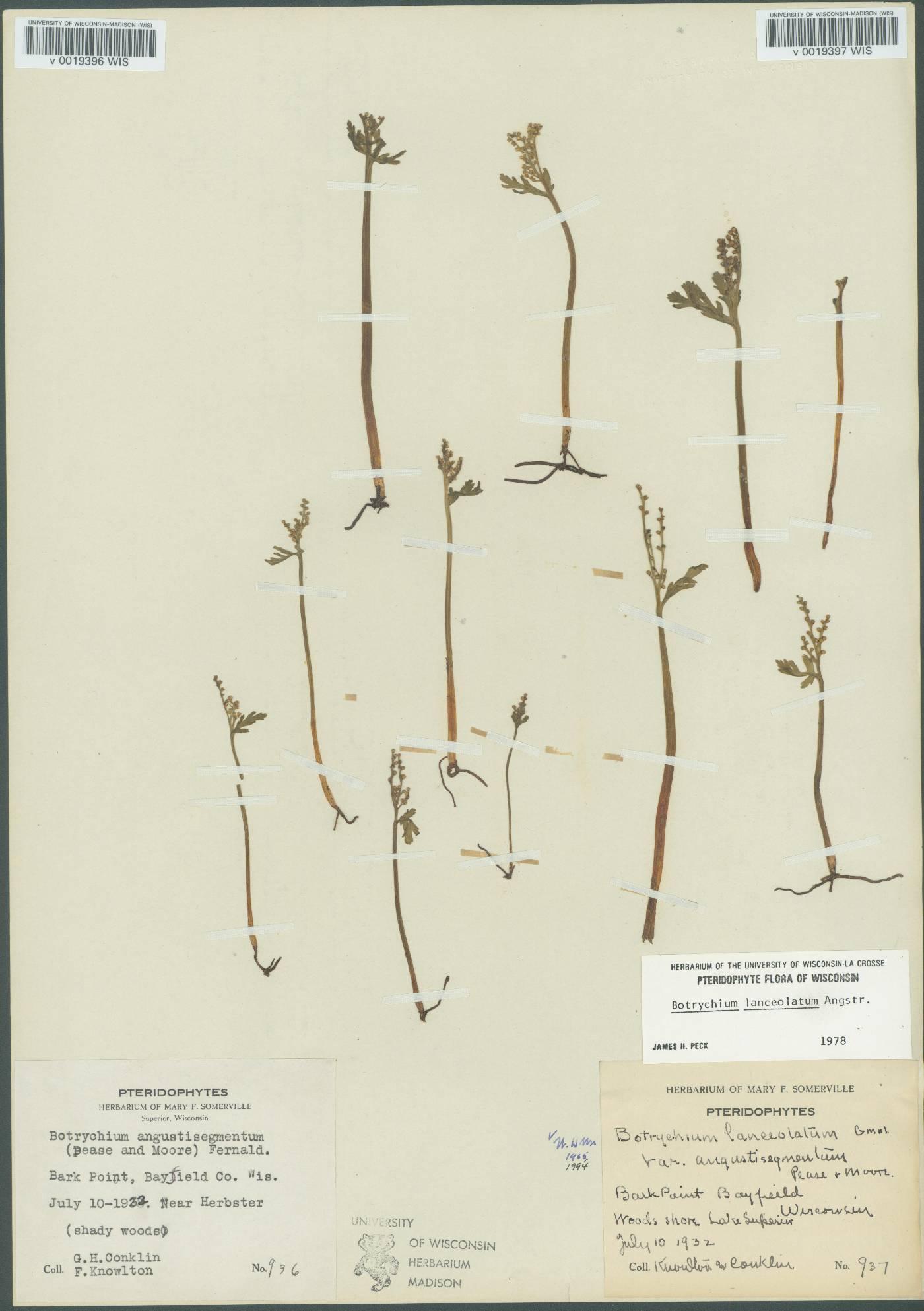 Botrychium lanceolatum subsp. angustisegmentum image