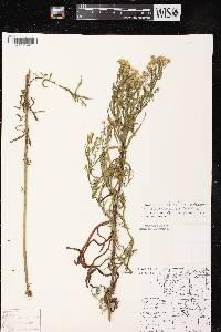 Image of Symphyotrichum lanceolatum x s. puniceum