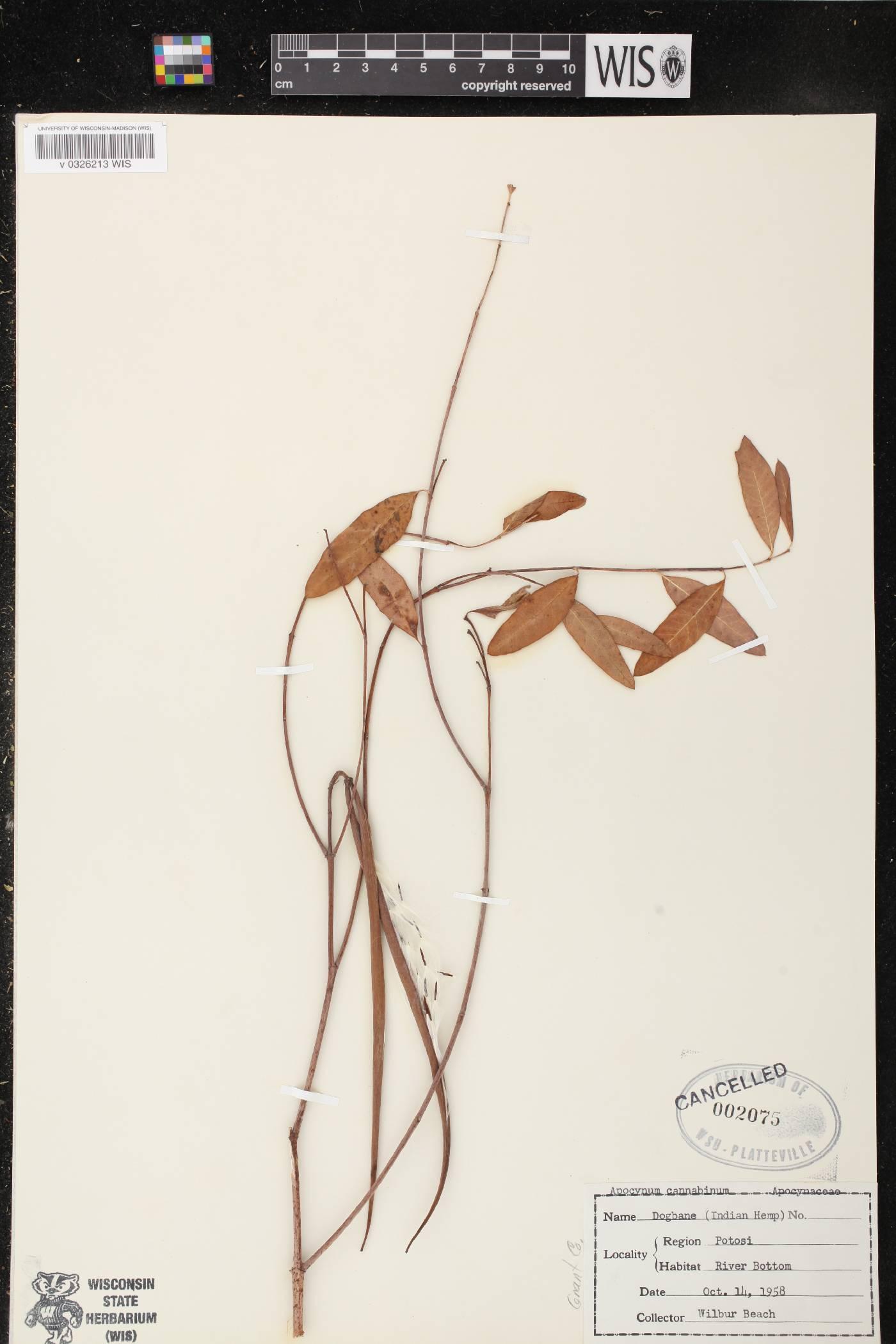 Apocynum cannabinum var. cannabinum image