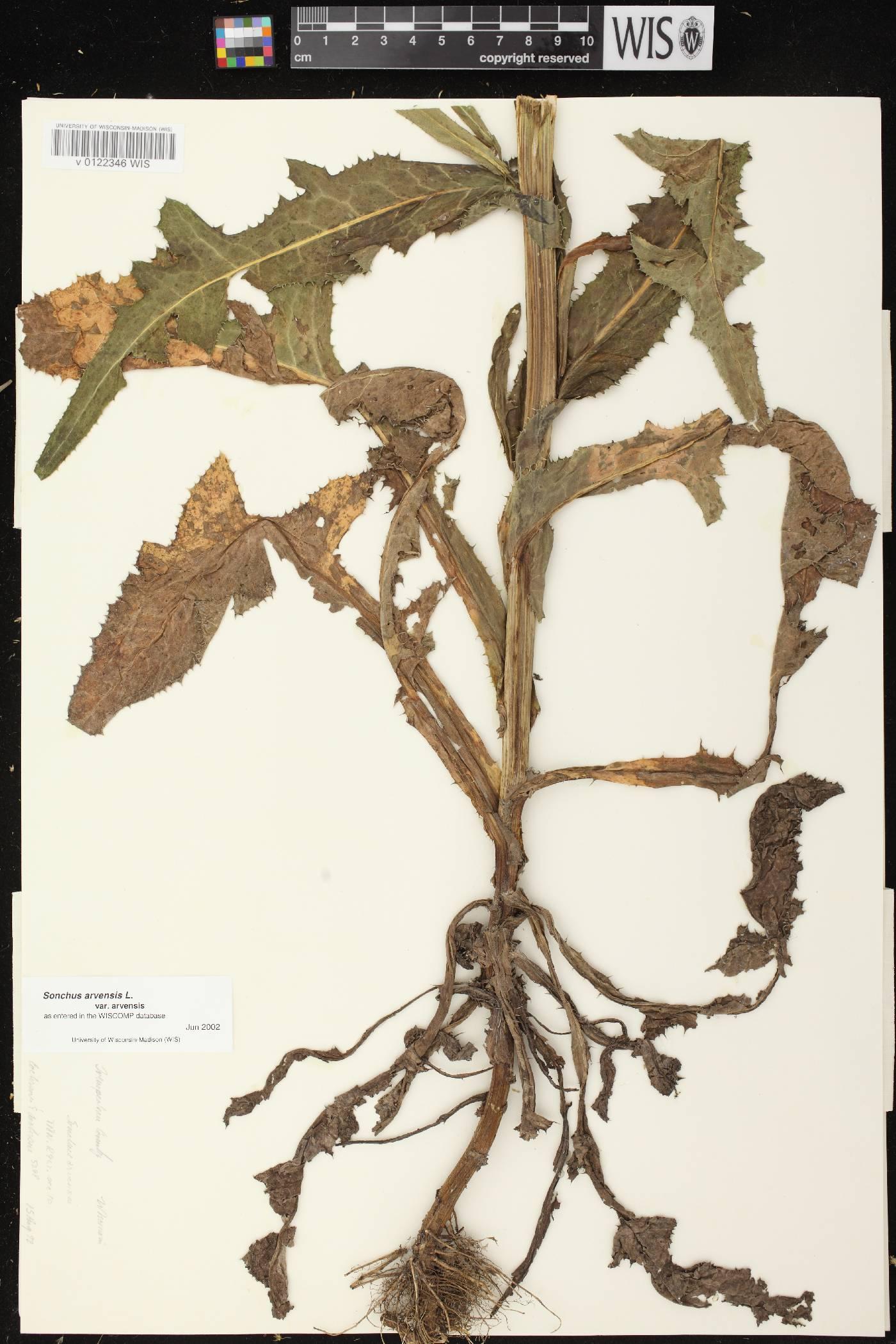 Sonchus arvensis subsp. arvensis image