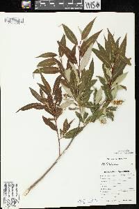 Salix serissima image