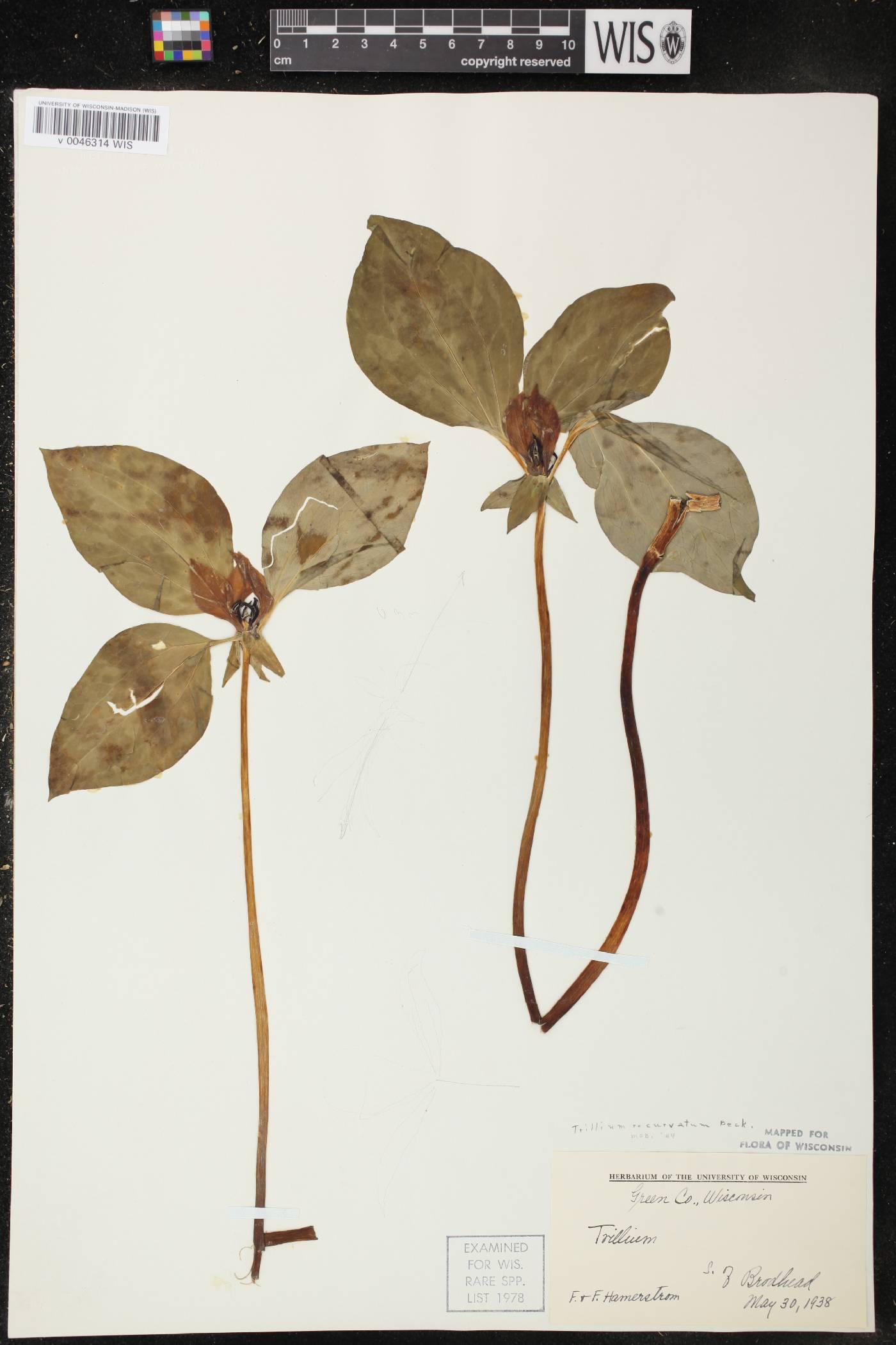 Trillium recurvatum image