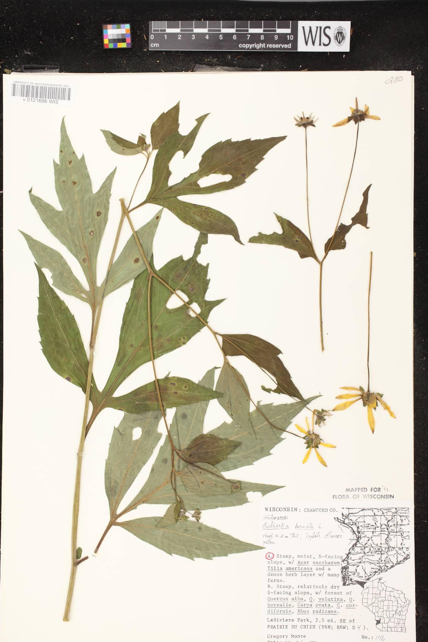 Rudbeckia laciniata var. laciniata image