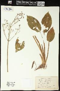 Image of Alisma