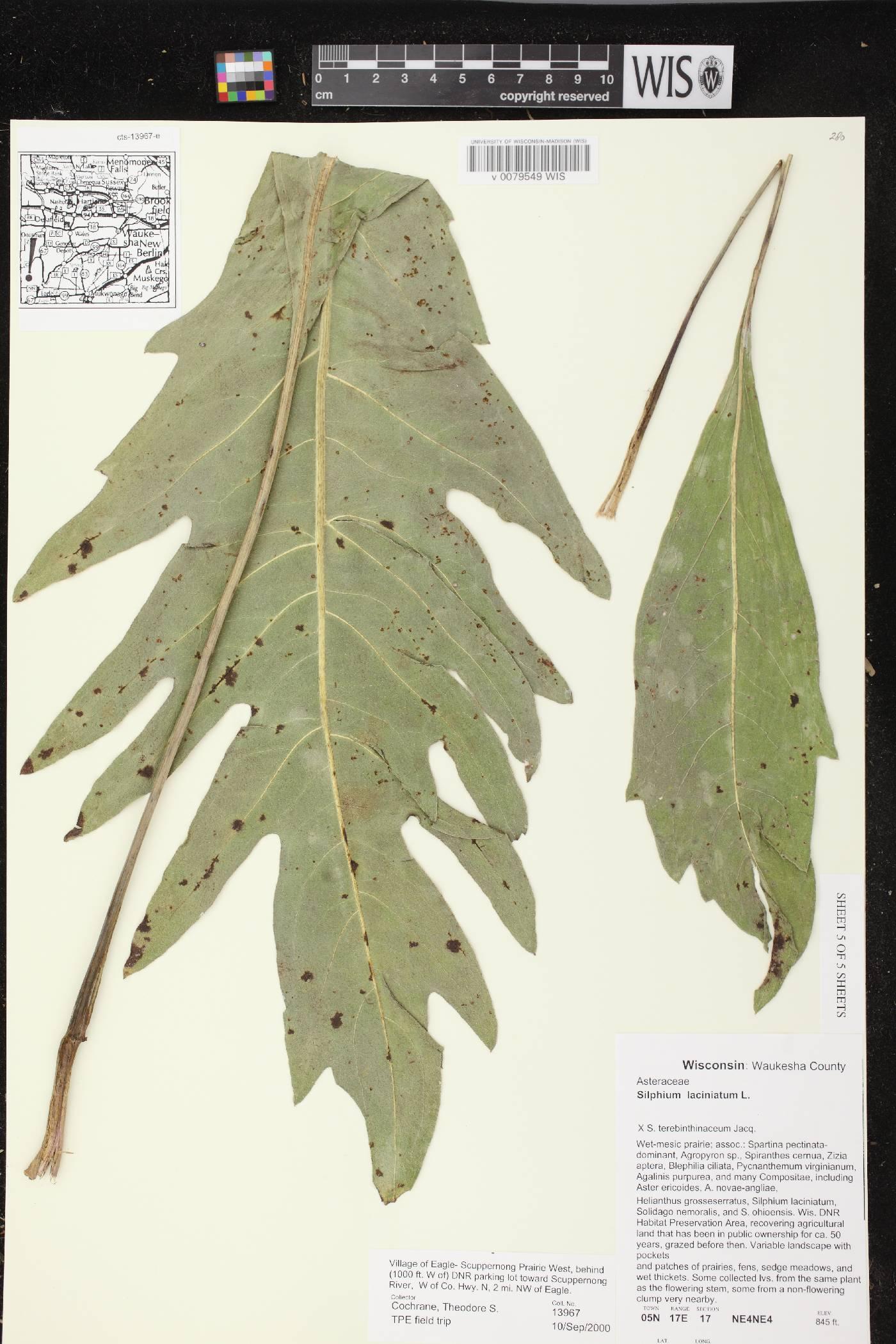Silphium laciniatum X S. terebinthinaceum image