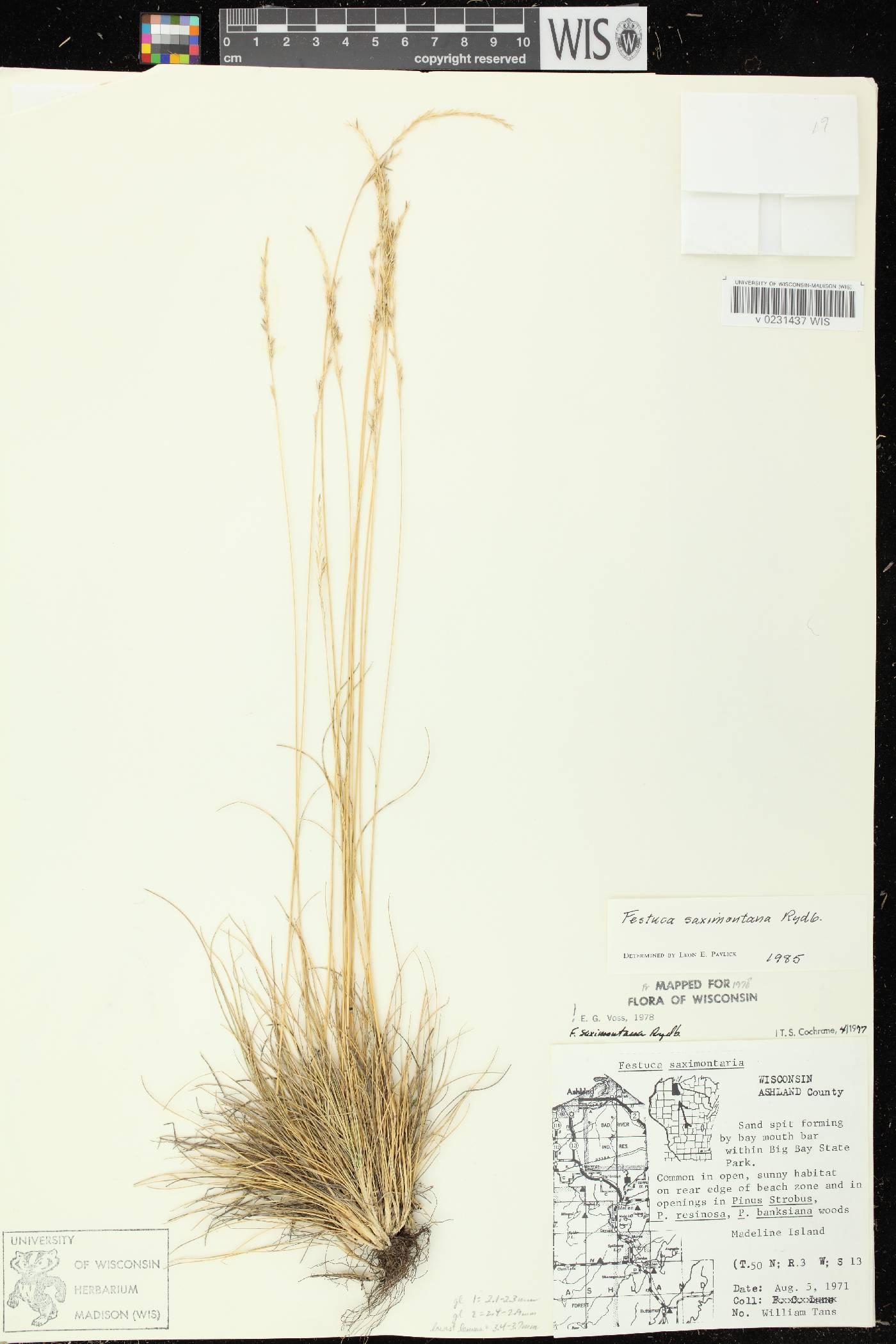 Festuca saximontana subsp. saximontana image