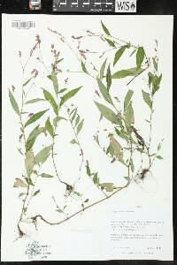 Image of Polygonum