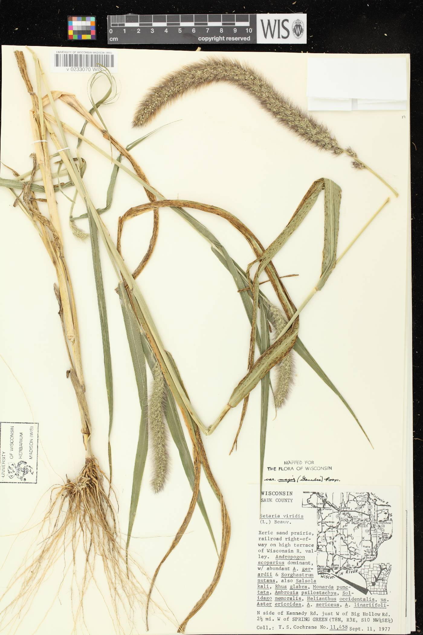 Setaria viridis var. major image