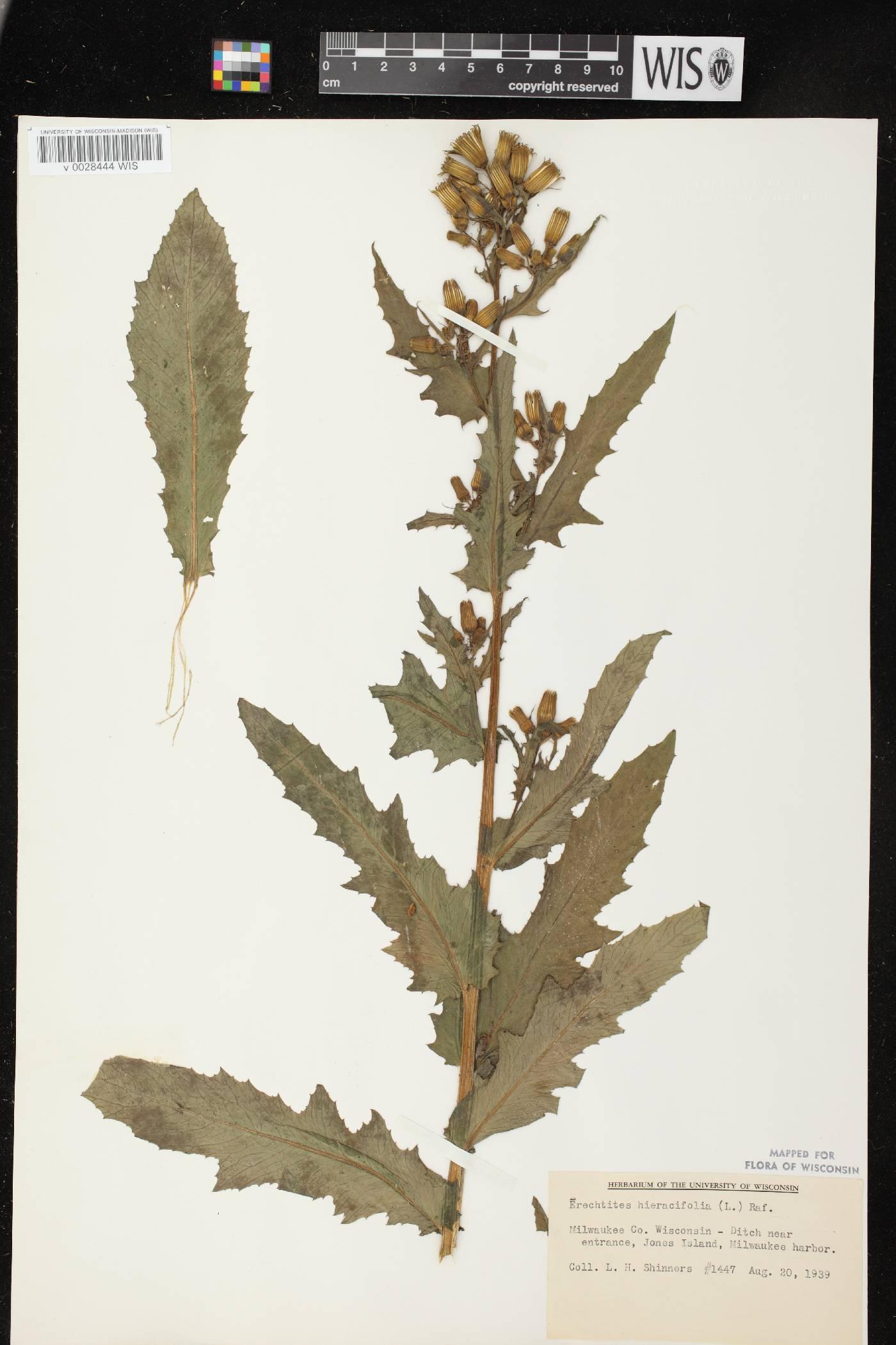 Erechtites hieracifolius var. hieracifolius image