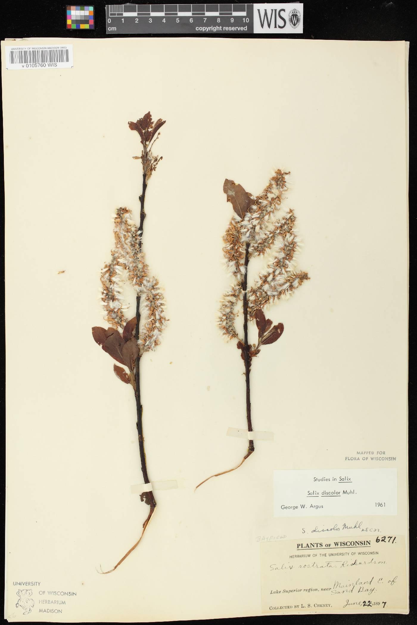 Salix discolor image