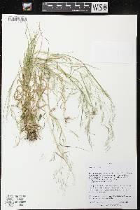 Image of Agrostis perennans
