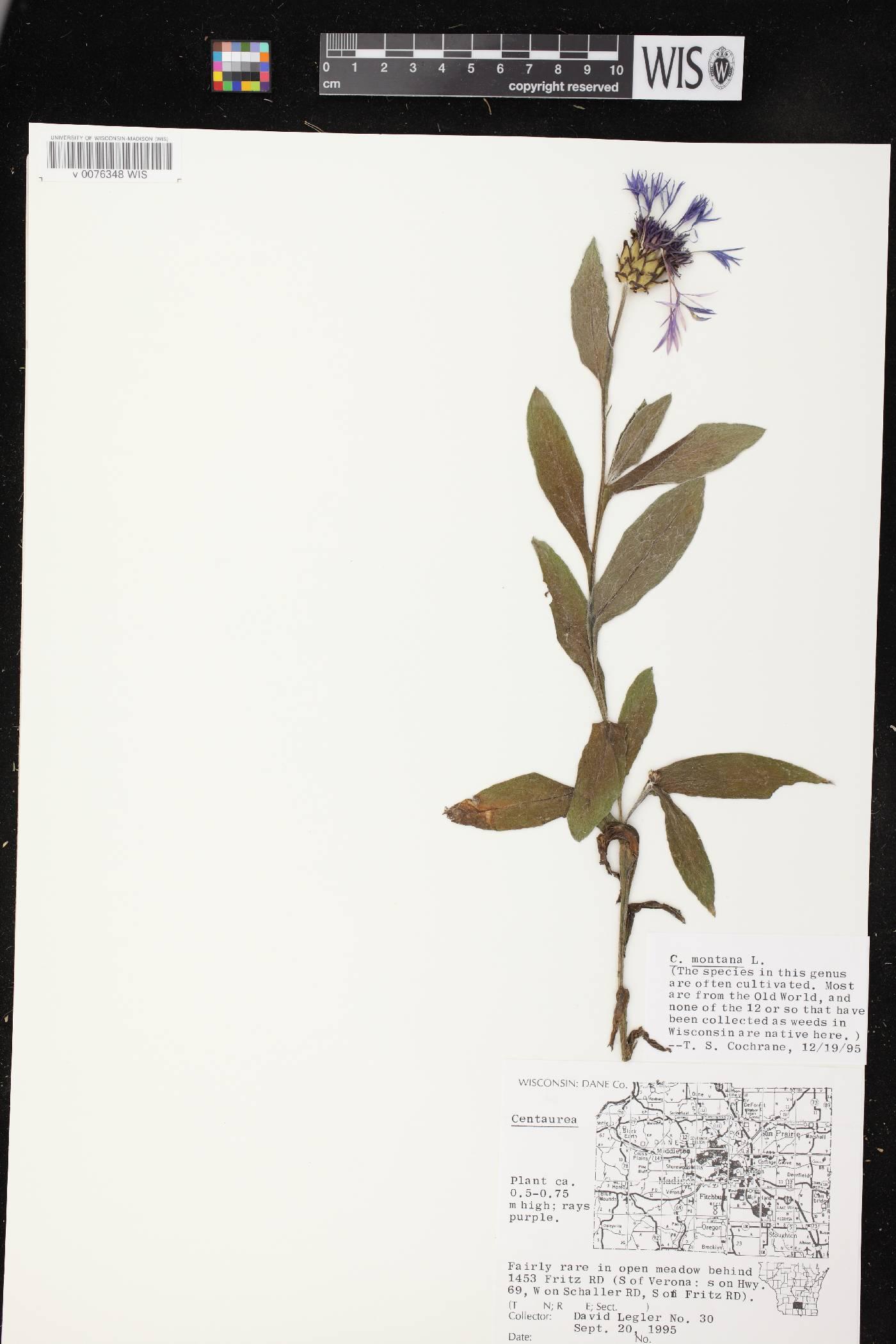 Centaurea montana image