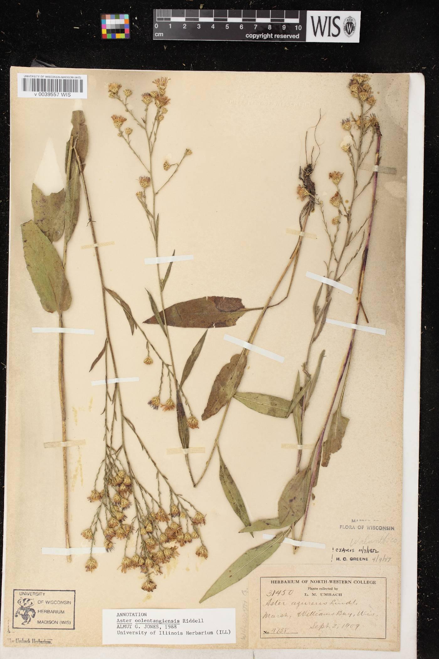 Symphyotrichum oolentangiense image