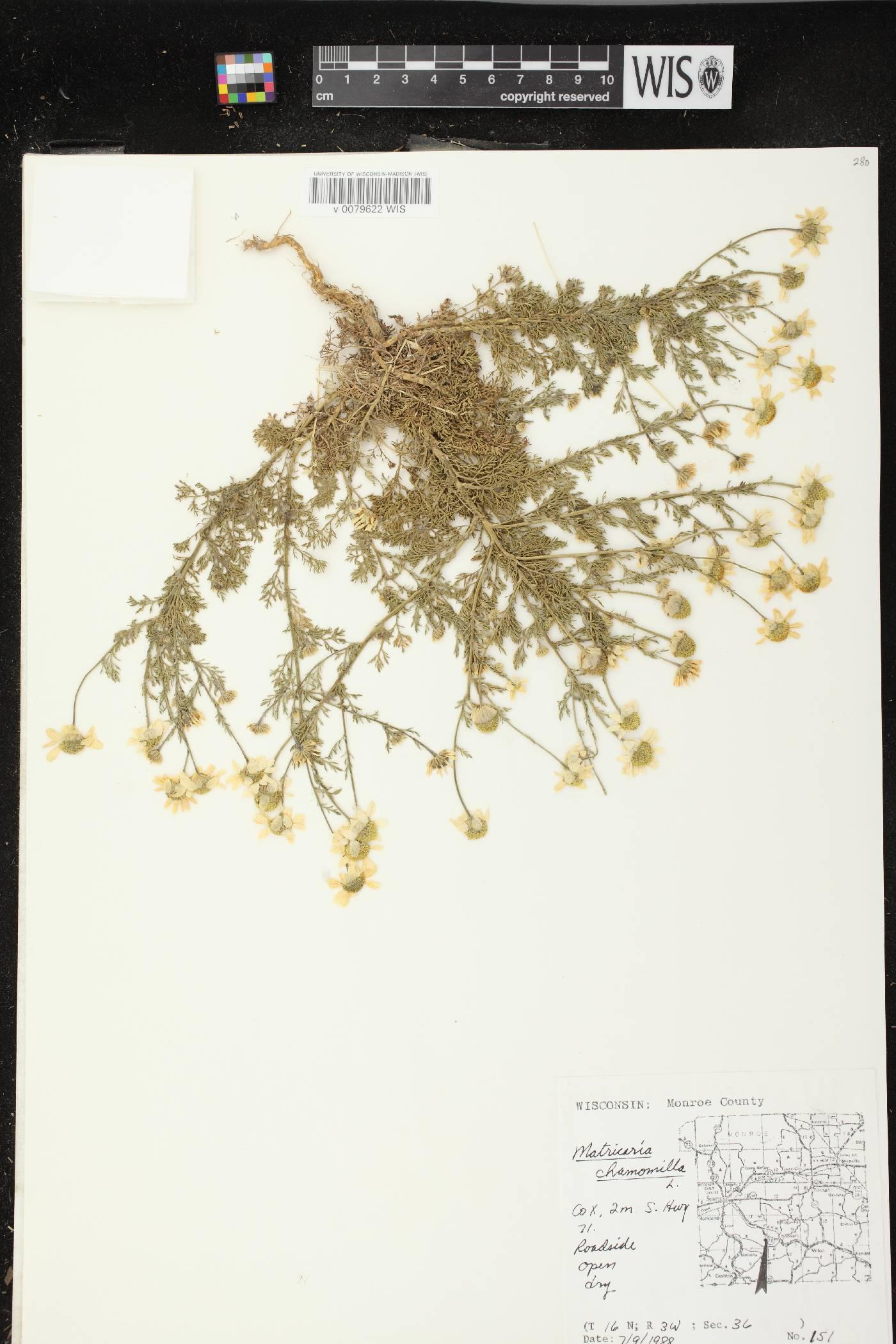Matricaria chamomilla image