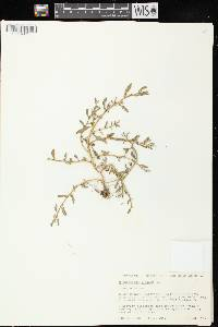 Chenopodium glaucum var. glaucum image