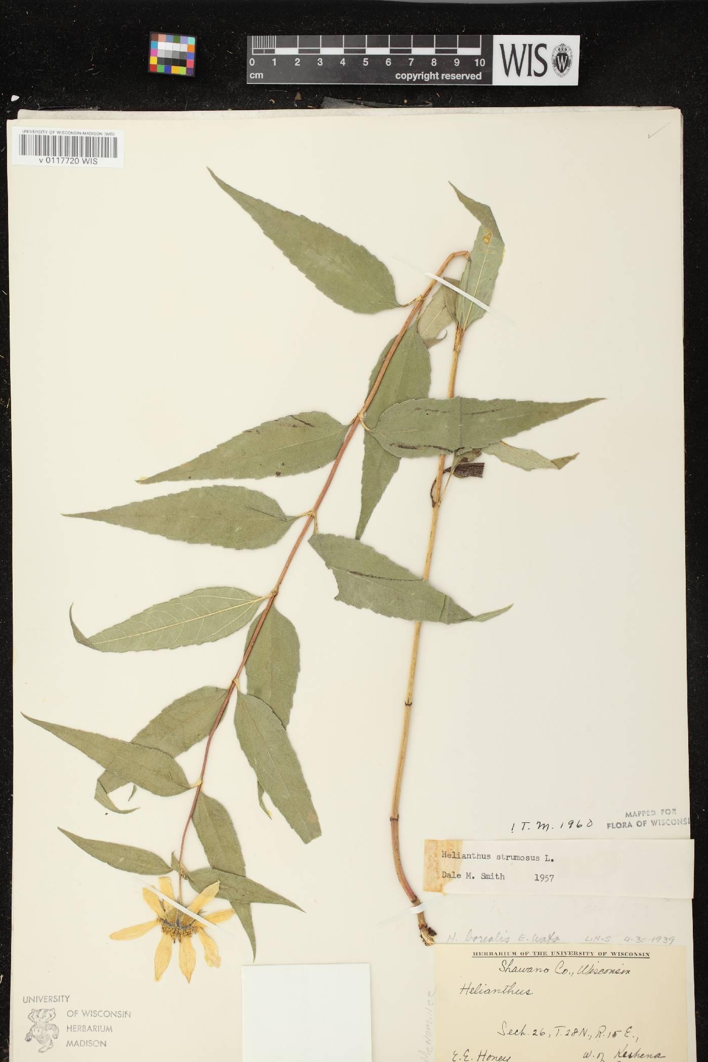 Helianthus strumosus image