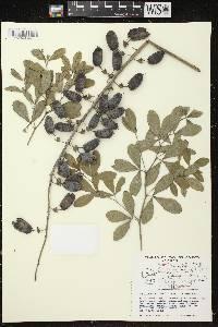 Baptisia lactea image