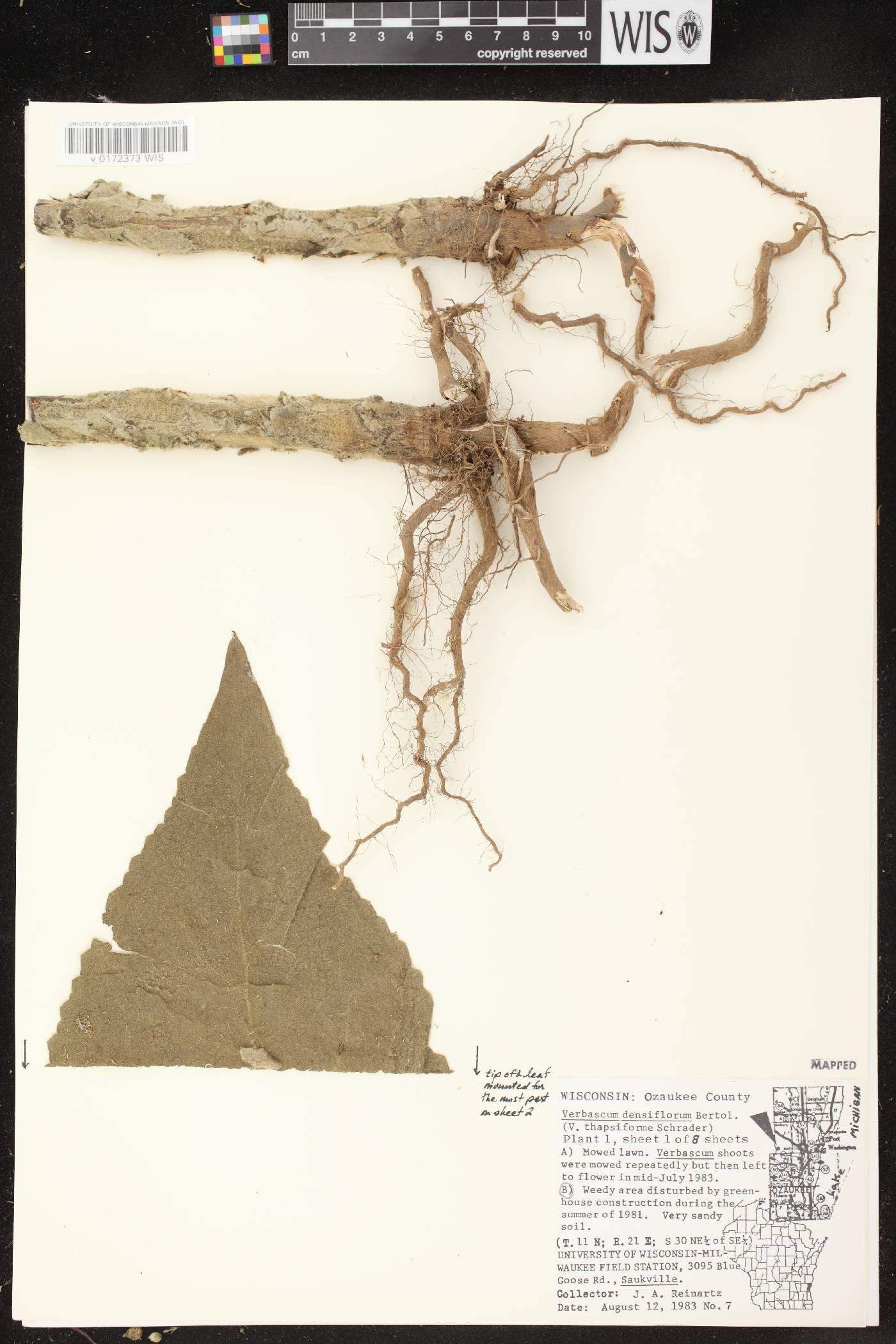 Verbascum densiflorum image