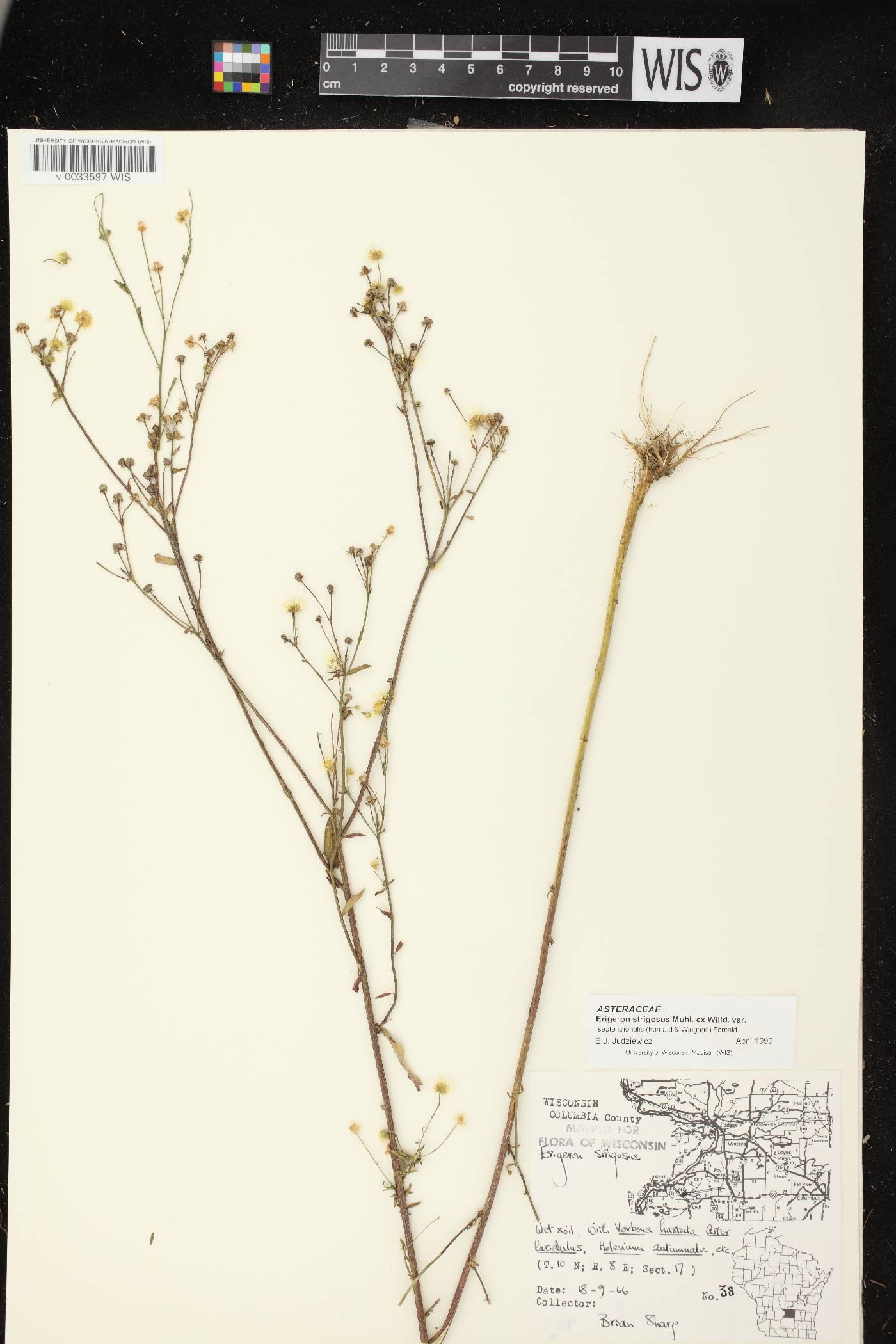 Erigeron strigosus var. septentrionalis image