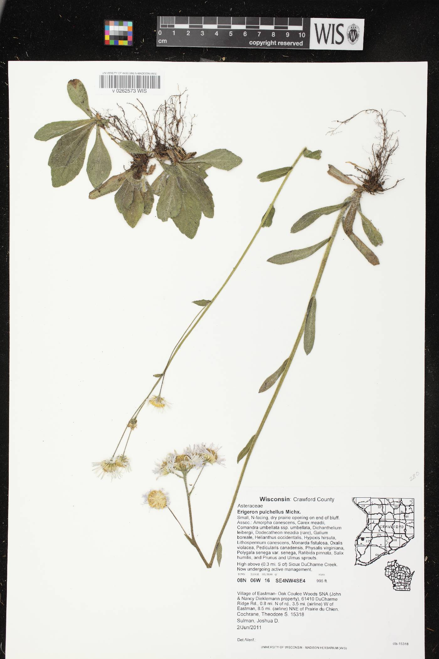 Erigeron pulchellus var. pulchellus image