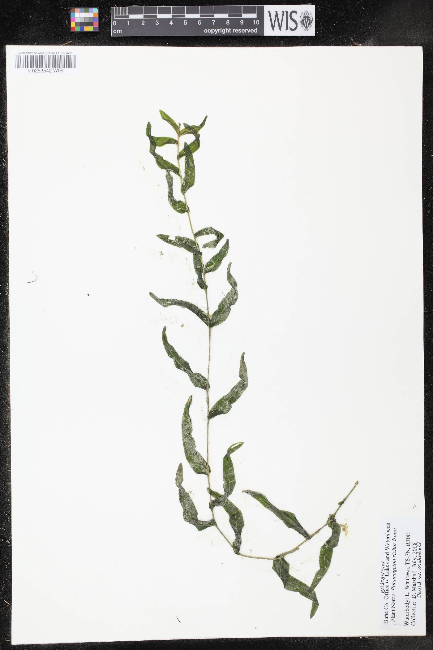 Potamogeton richardsonii image