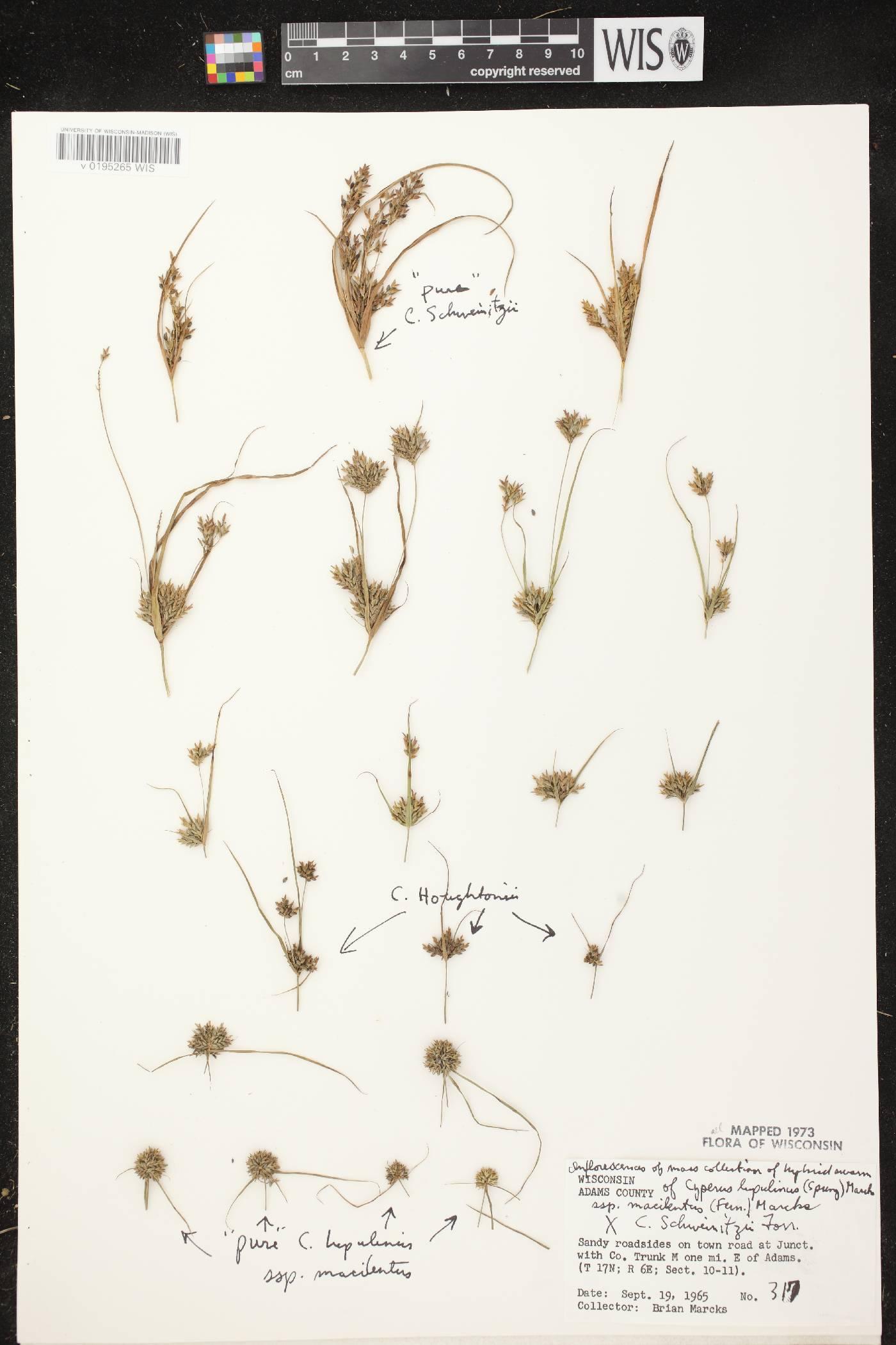 Cyperus lupulinus image