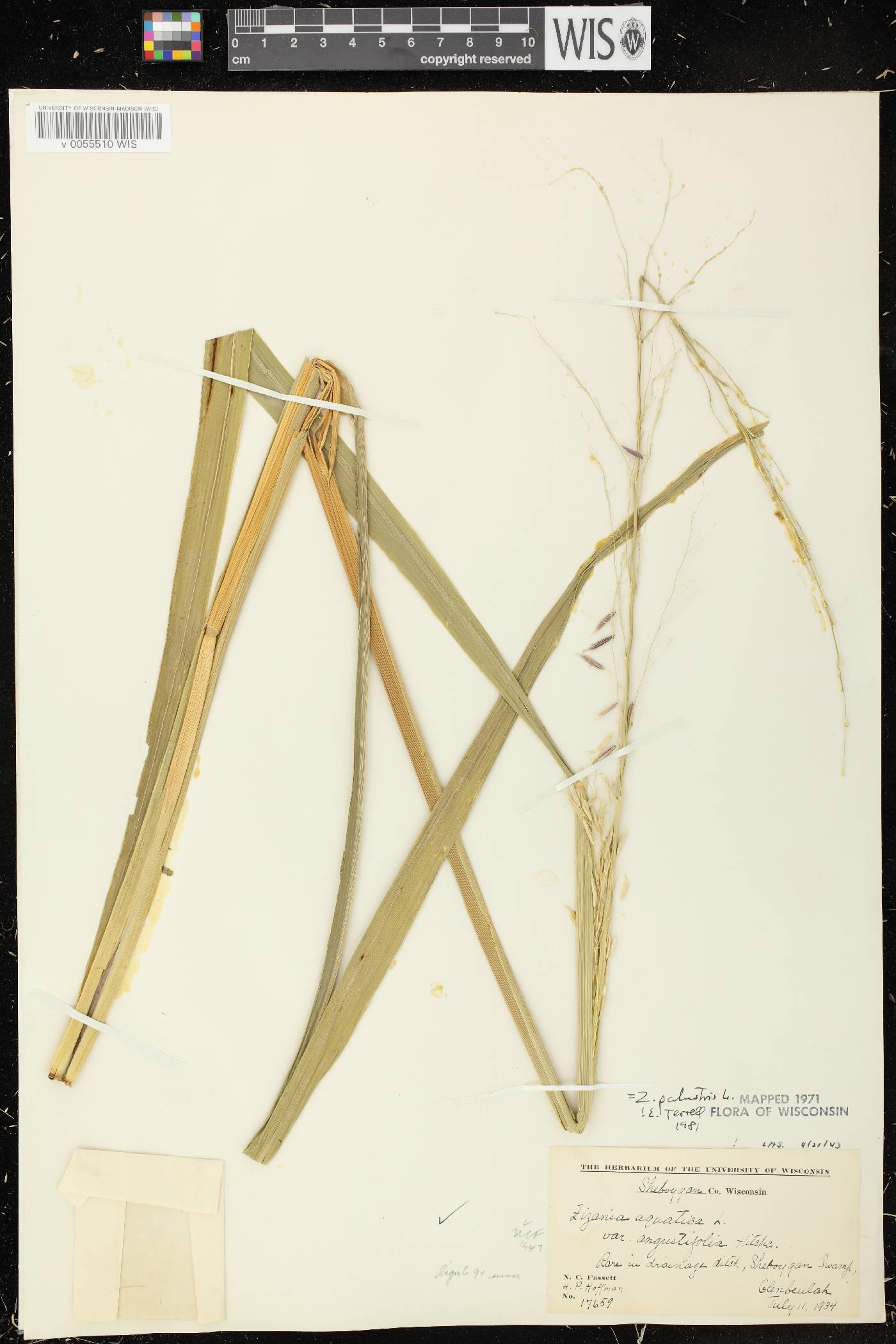 Zizania palustris var. palustris image