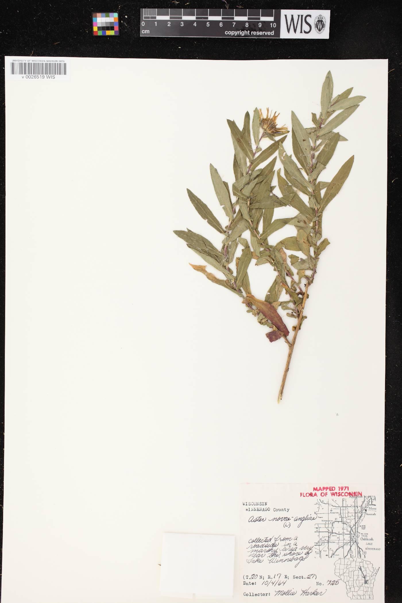 Symphyotrichum novae-angliae image