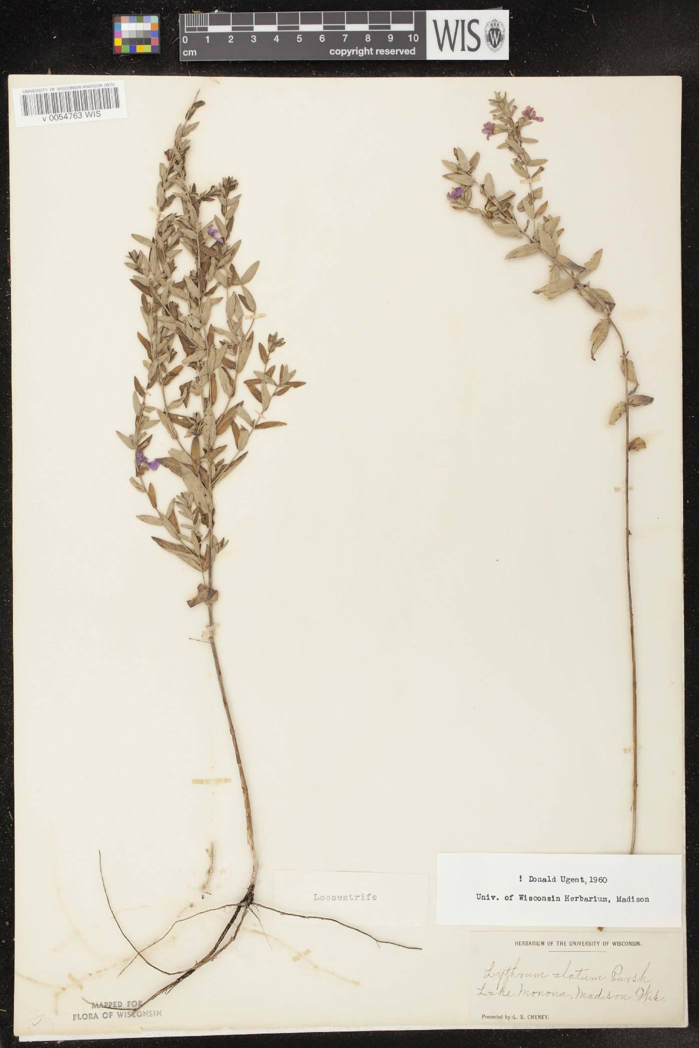 Lythrum alatum var. alatum image