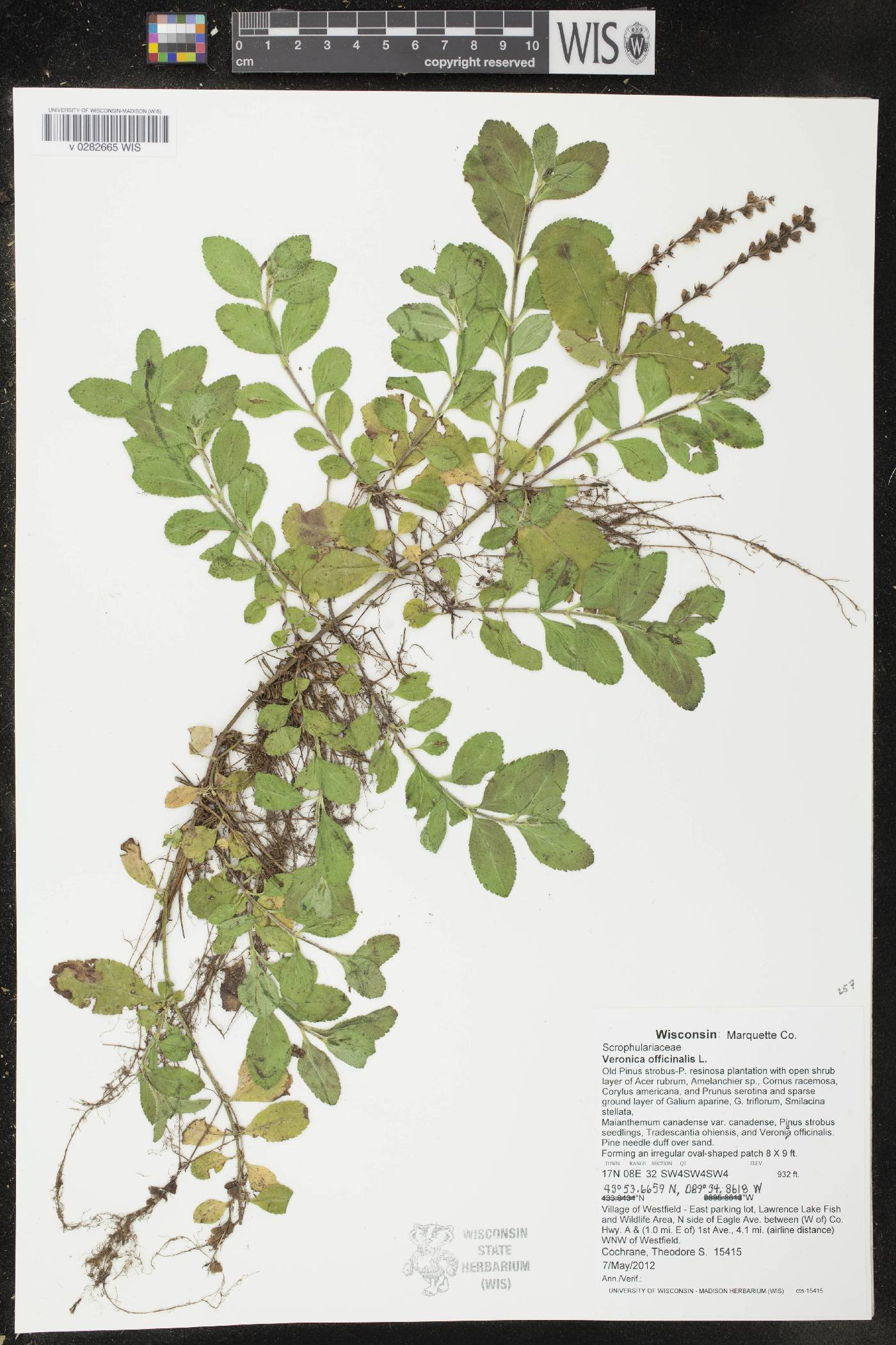 Veronica officinalis image