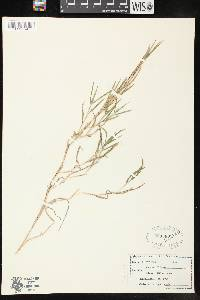 Image of Muhlenbergia schreberi
