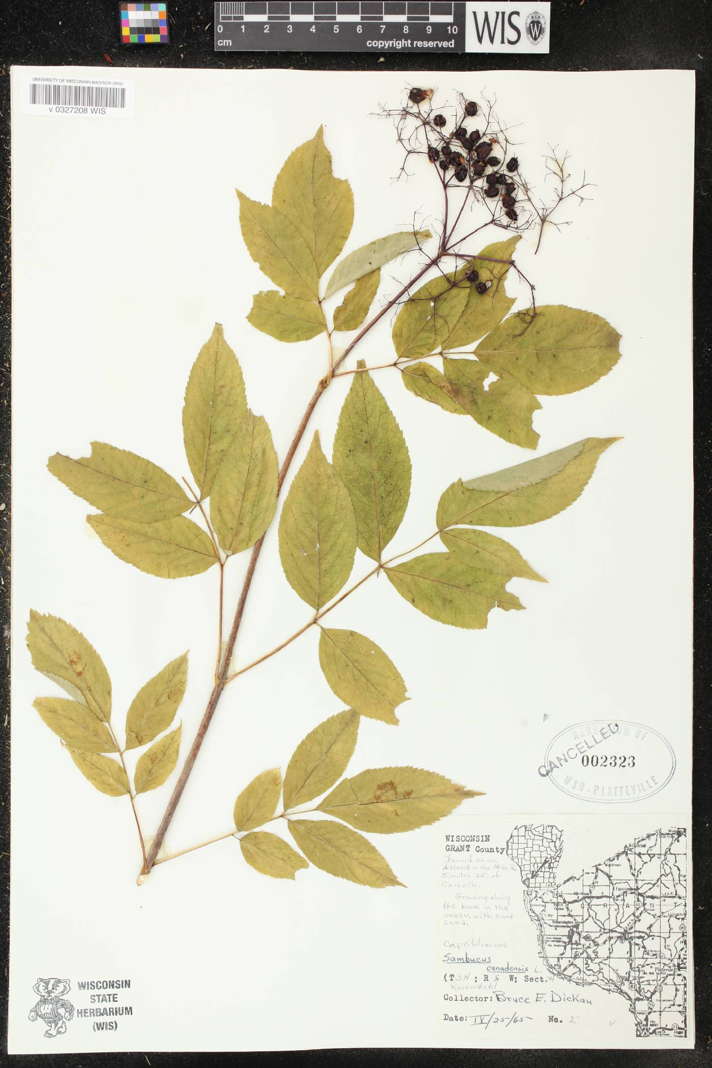 Sambucus canadensis var. canadensis image