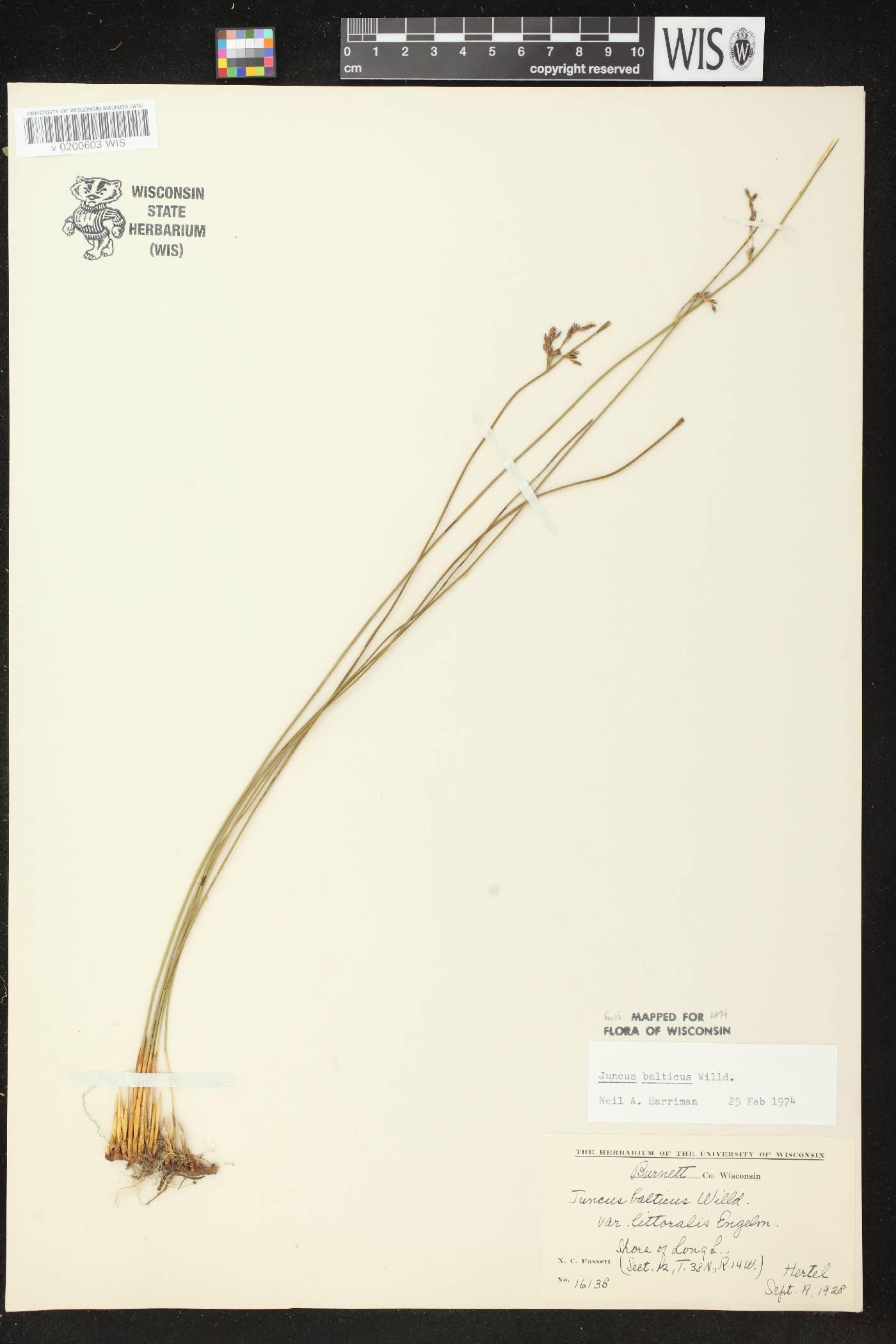 Juncus balticus subsp. littoralis image
