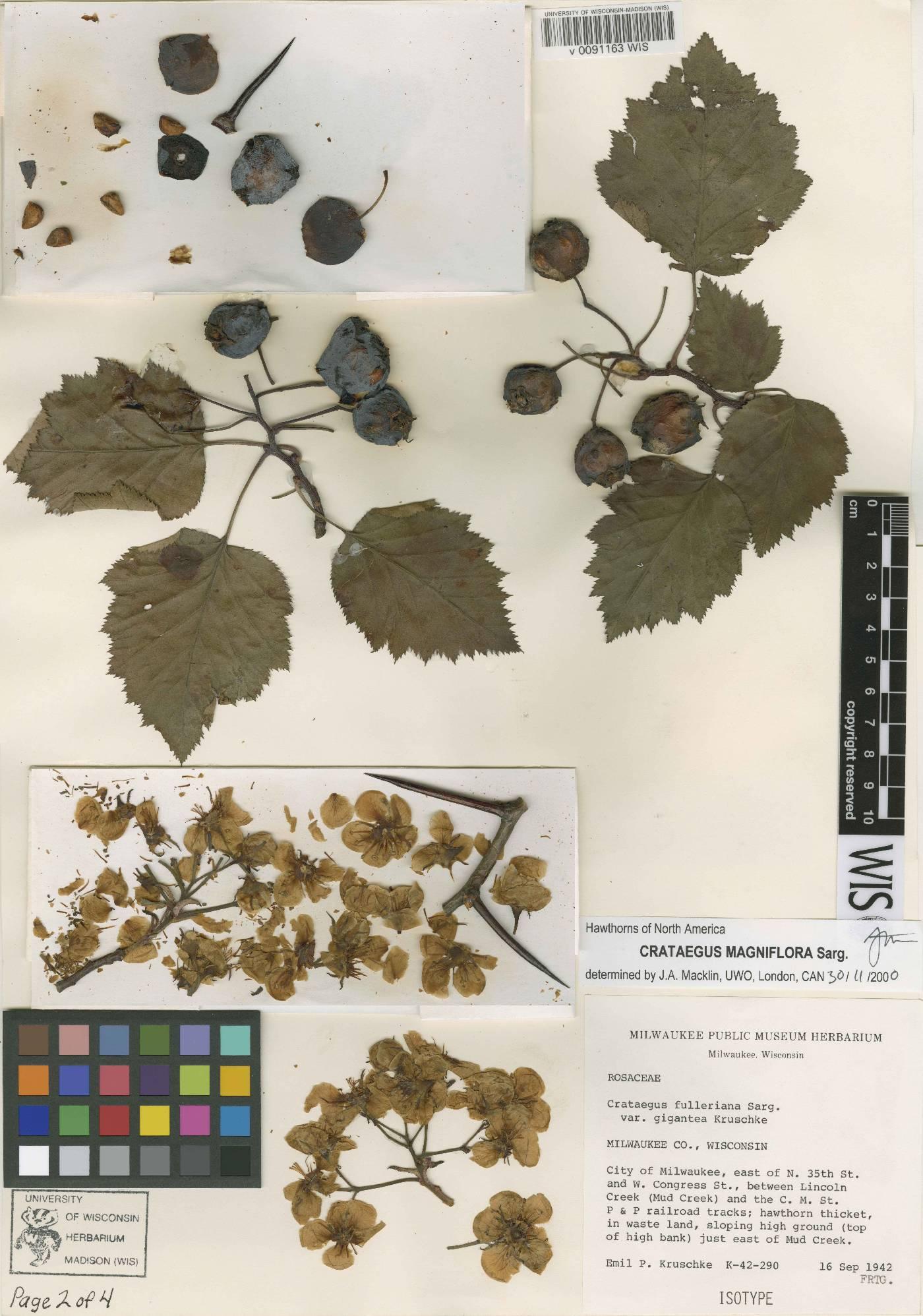 Crataegus magniflora image