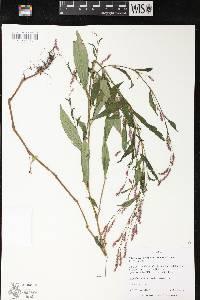 Image of Persicaria longiseta