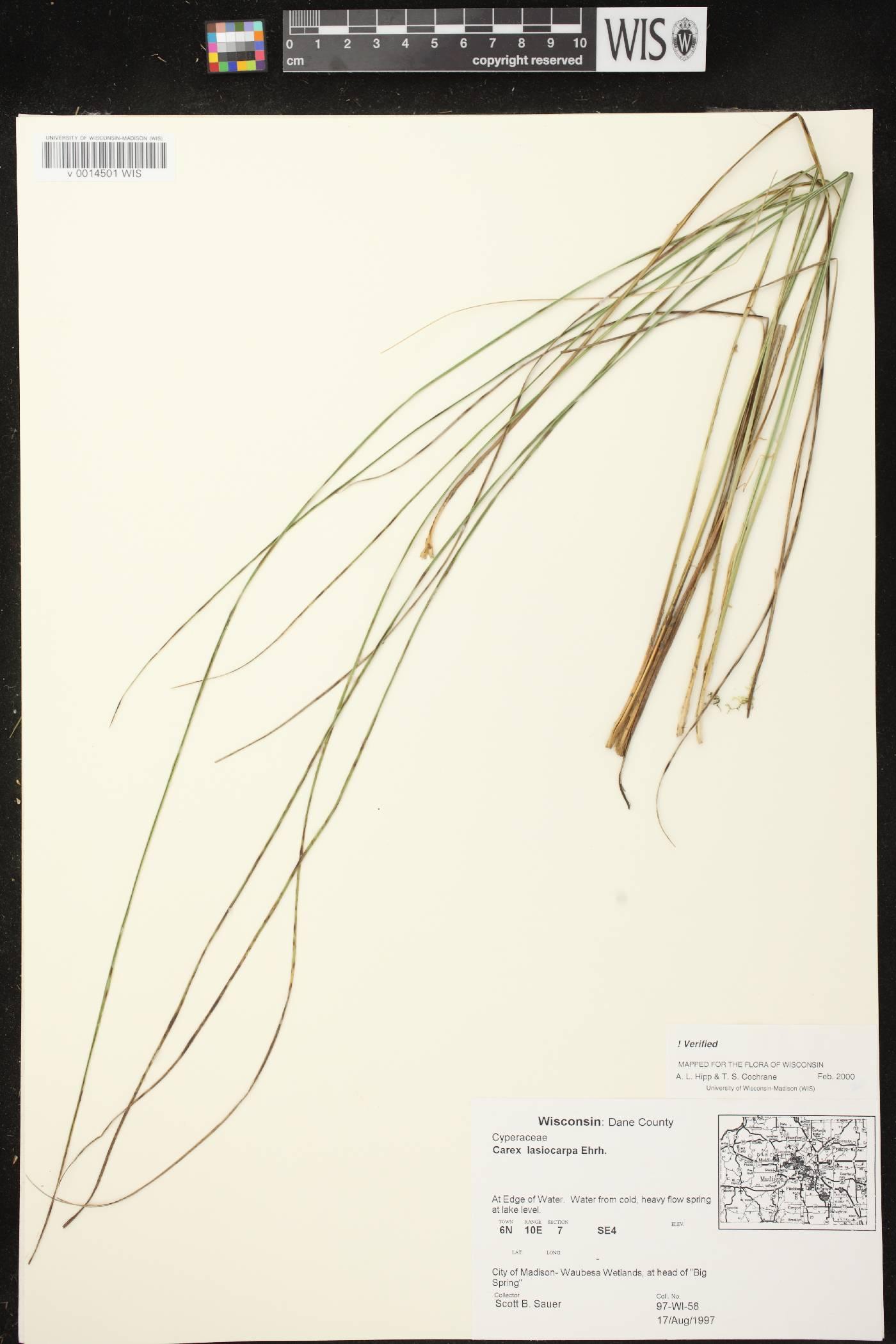 Carex lasiocarpa subsp. americana image