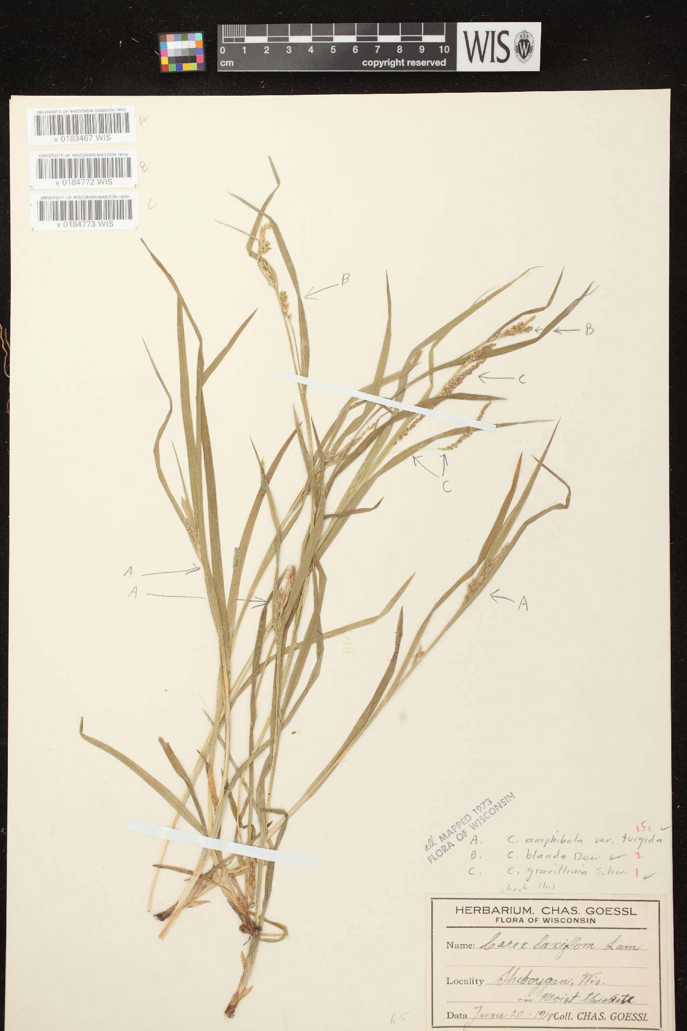 Carex blanda image