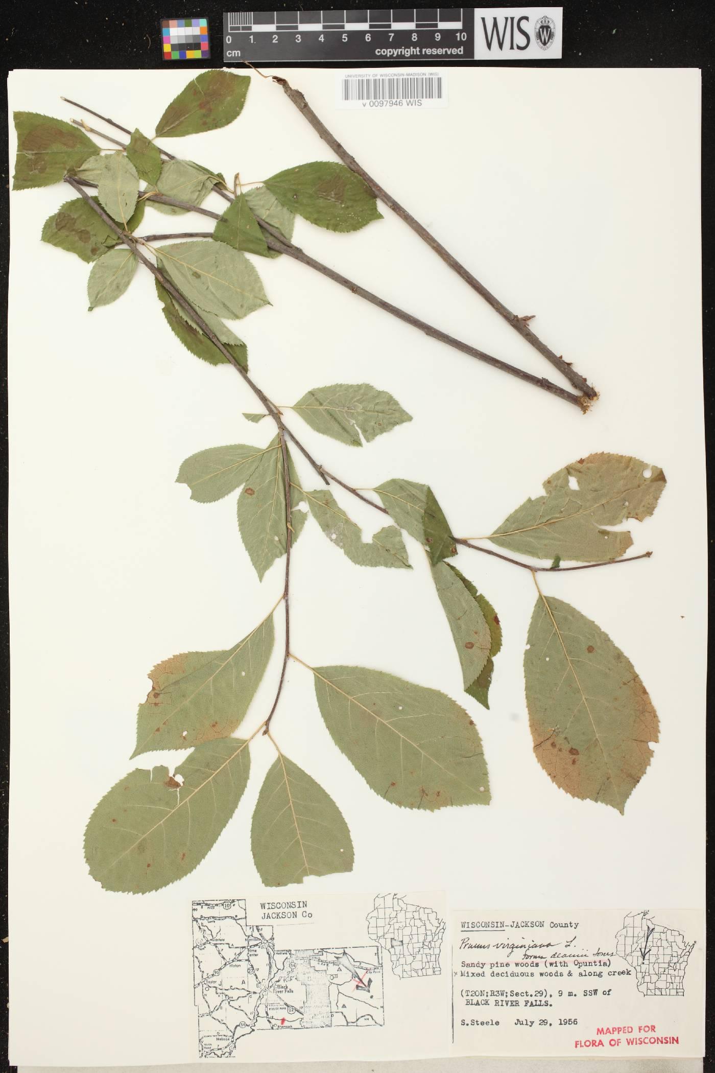 Prunus virginiana var. virginiana image