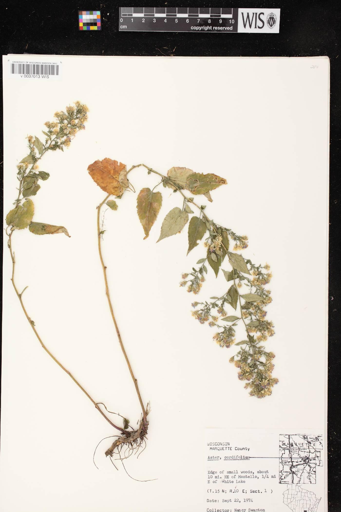 Symphyotrichum cordifolium image