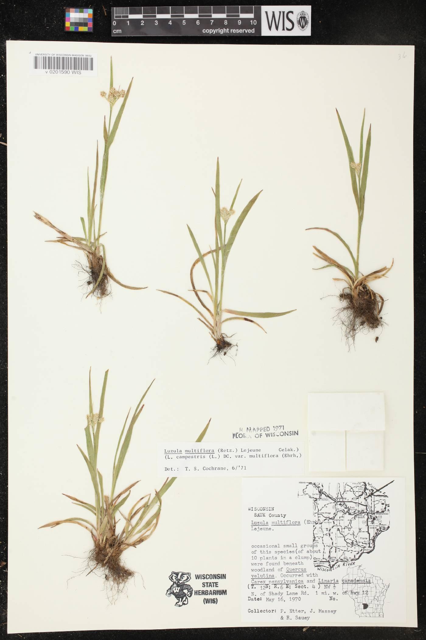 Luzula multiflora subsp. multiflora image