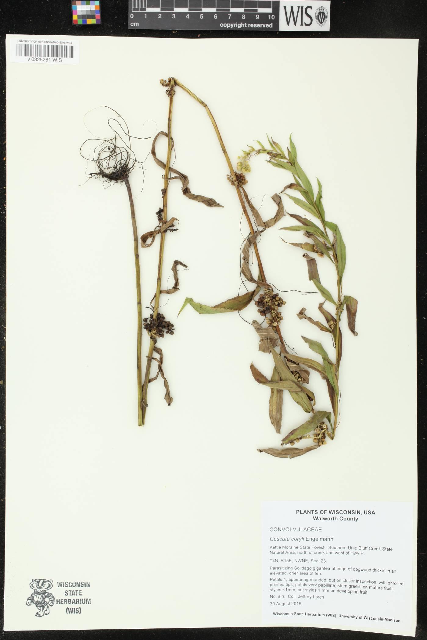 Cuscuta coryli image