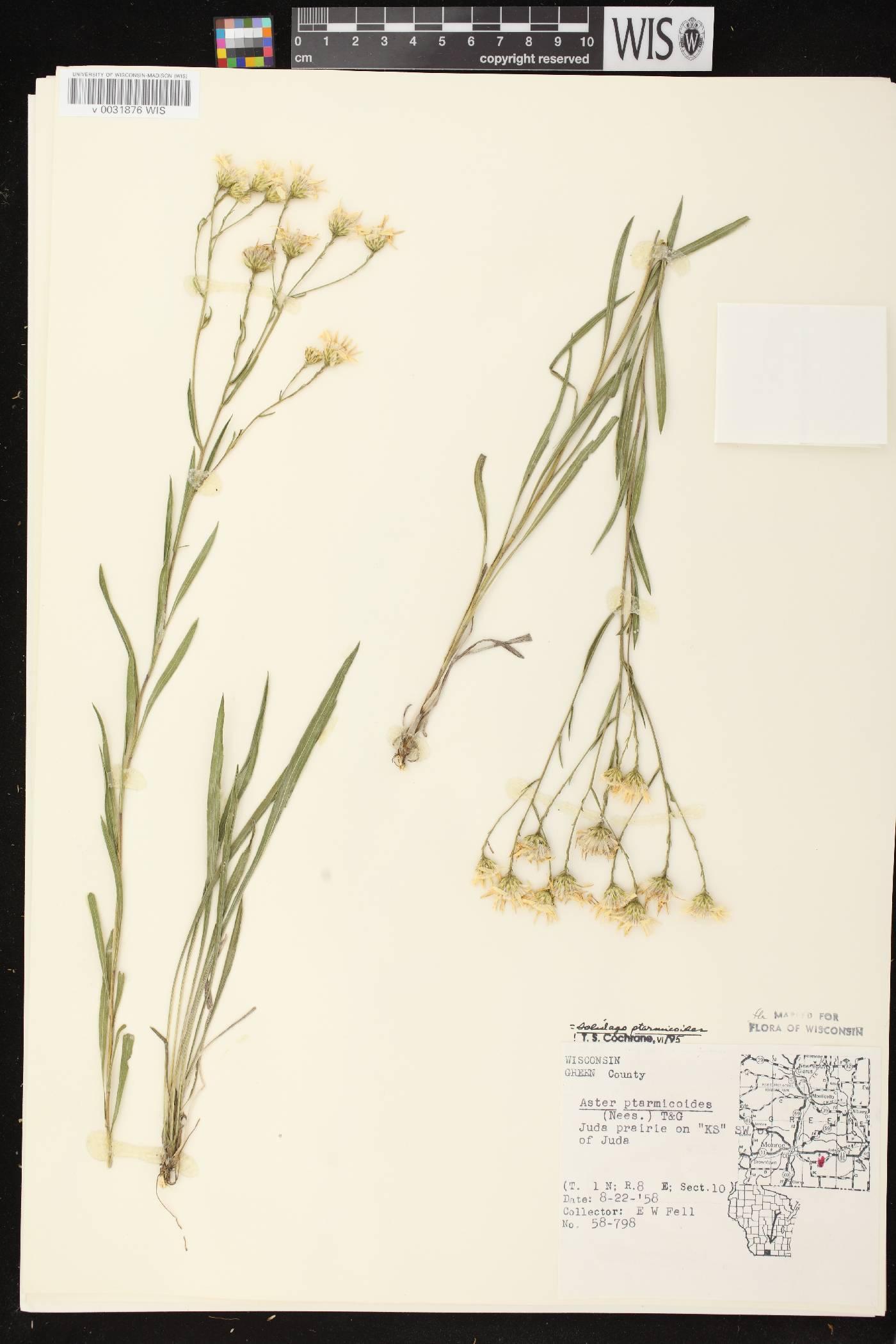 Solidago ptarmicoides image