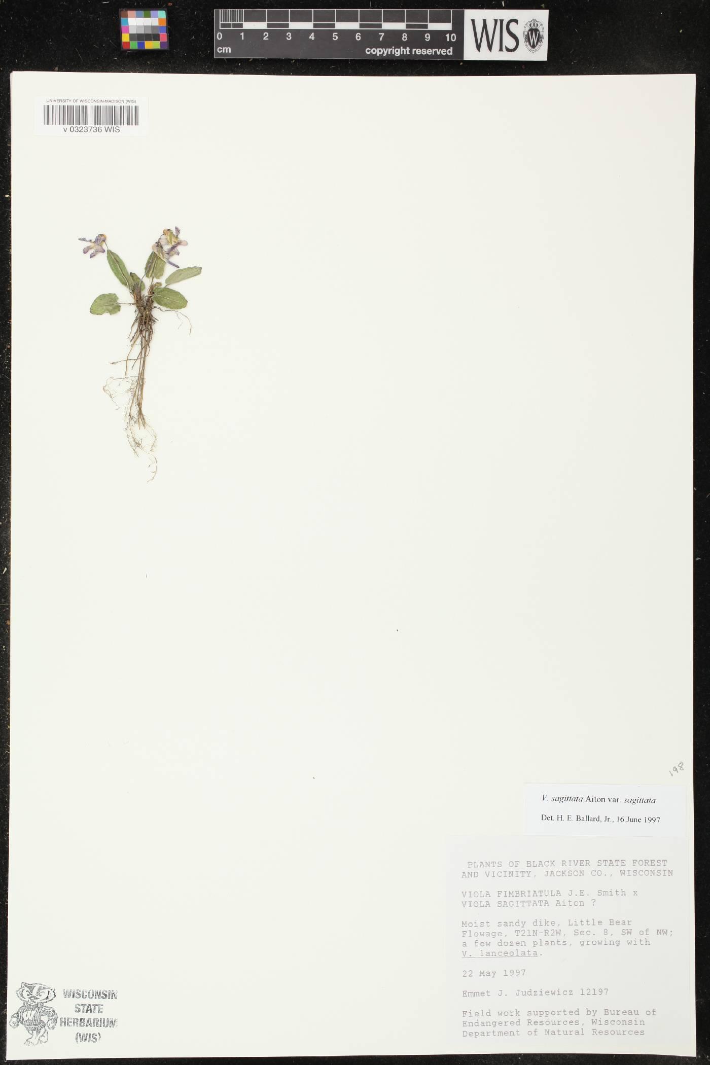 Viola sagittata var. sagittata image