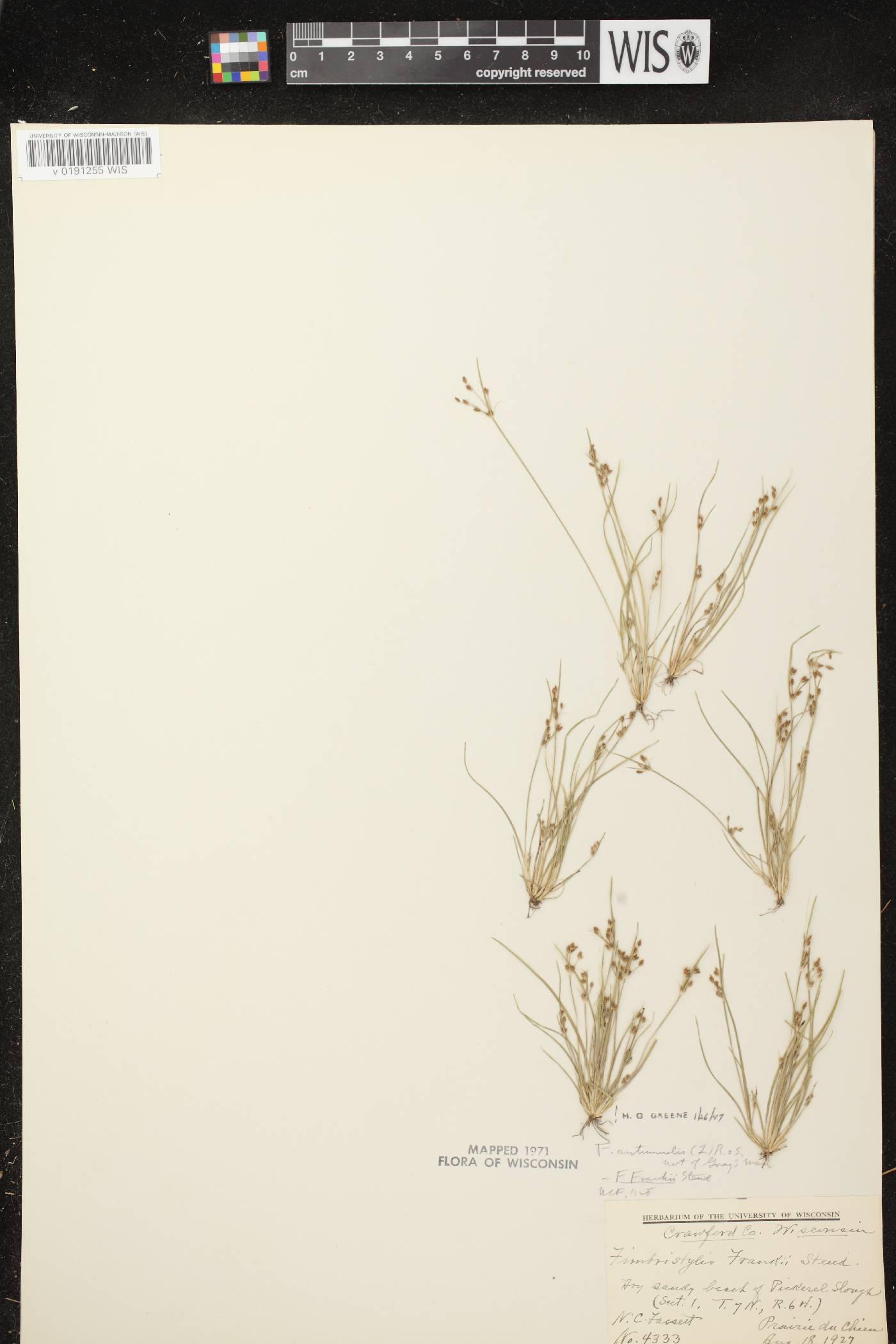 Fimbristylis autumnalis image