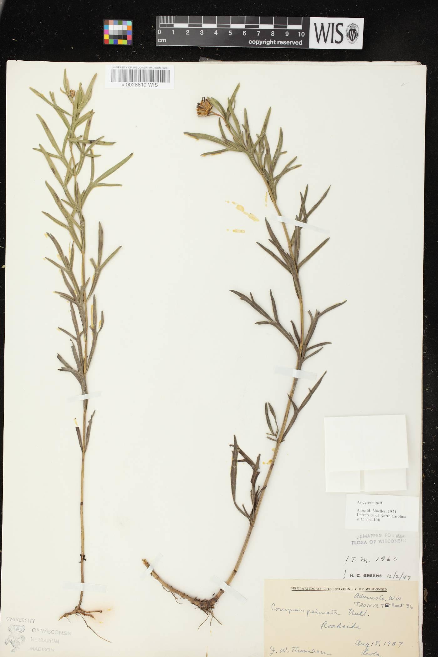 Coreopsis palmata image