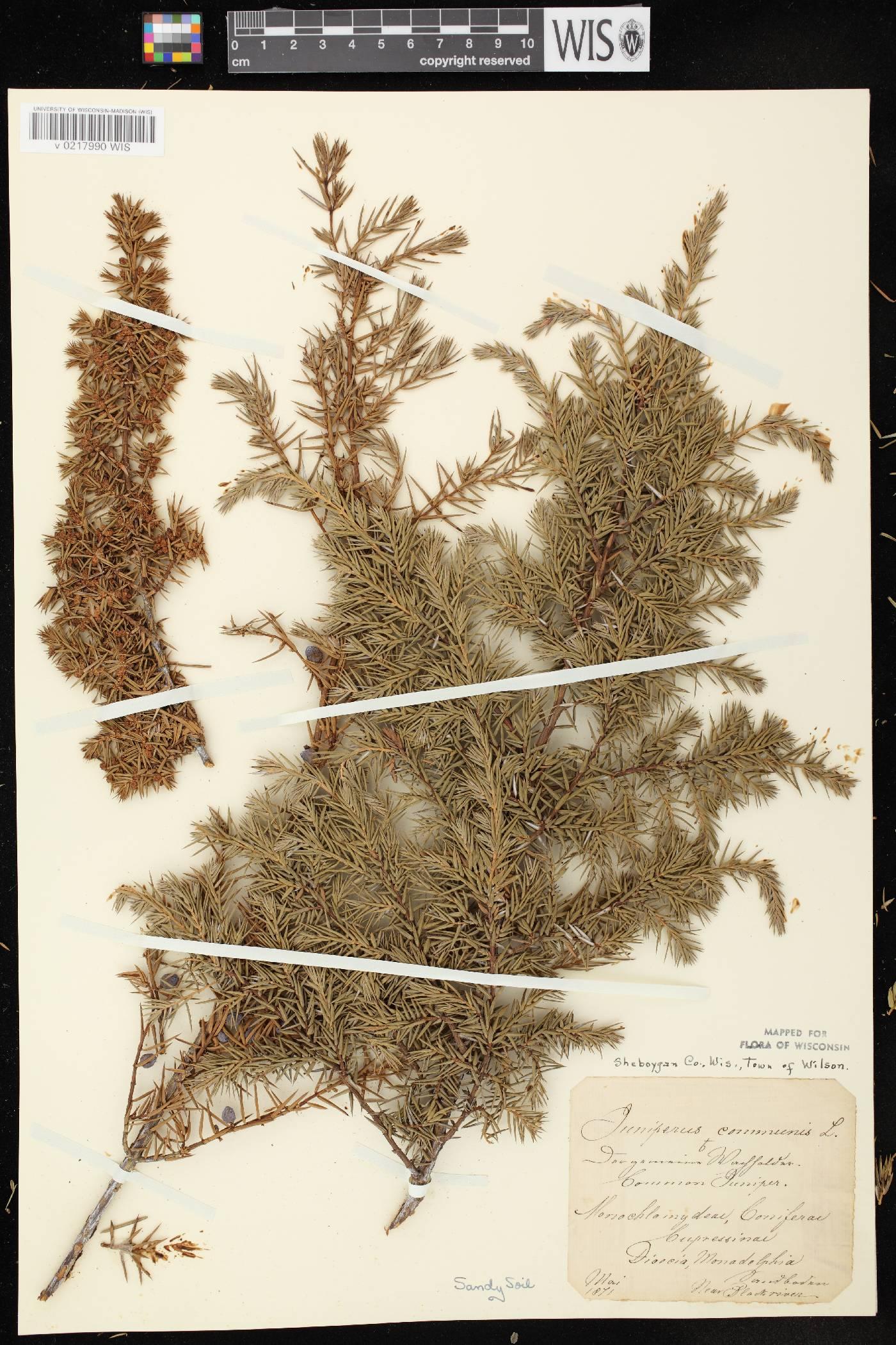 Juniperus communis var. depressa image