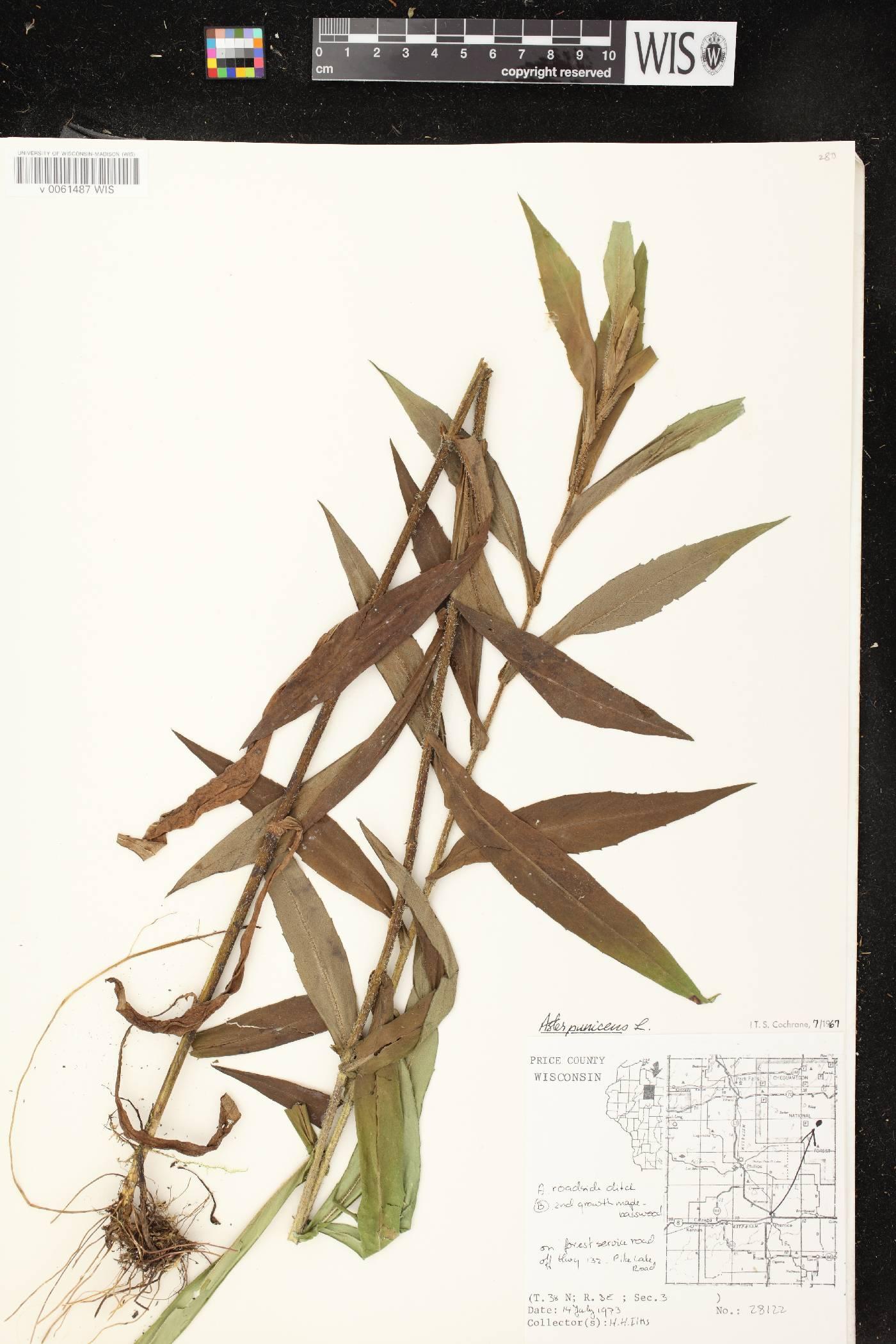 Symphyotrichum puniceum var. puniceum image