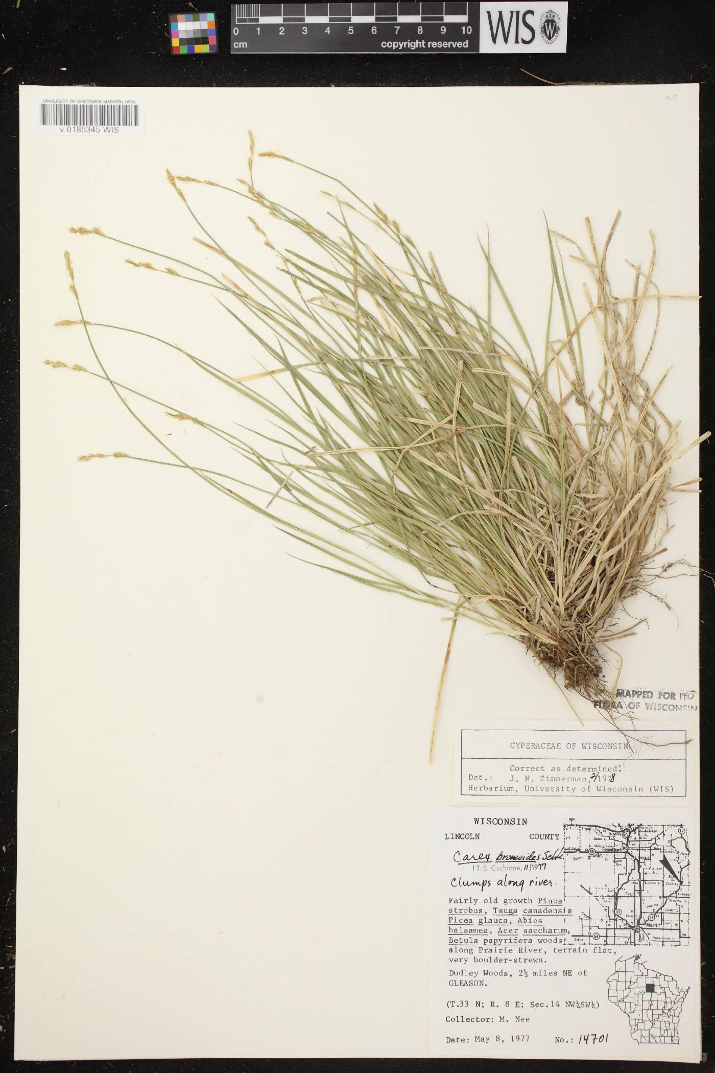 Carex bromoides subsp. bromoides image